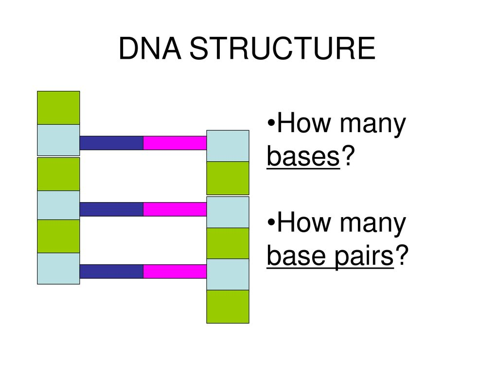 DNA STRUCTURE How many bases How many base pairs