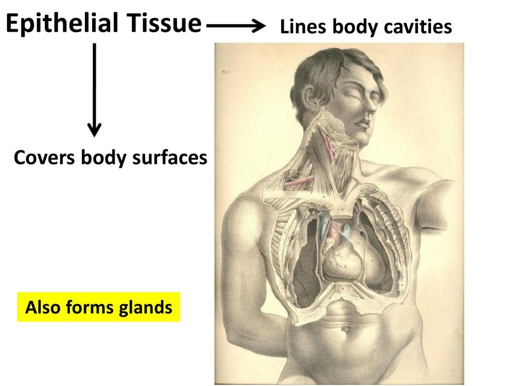 Types Of Glands In Human Body Human Body Glands Functions Pdf