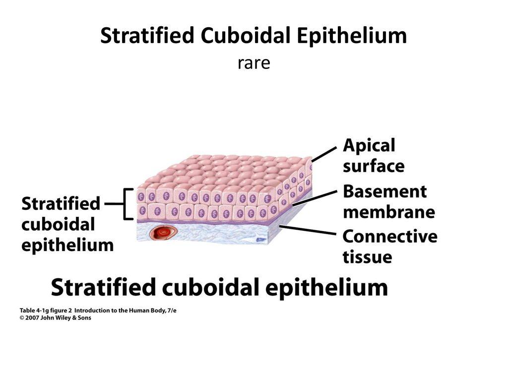 Stratified Cuboidal Epithelium Diagram