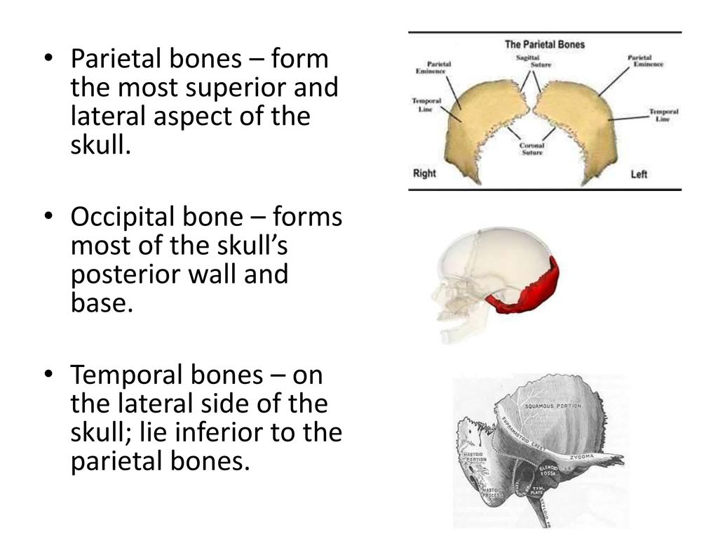 Chapter 7 Anatomy and Physiology - ppt download
