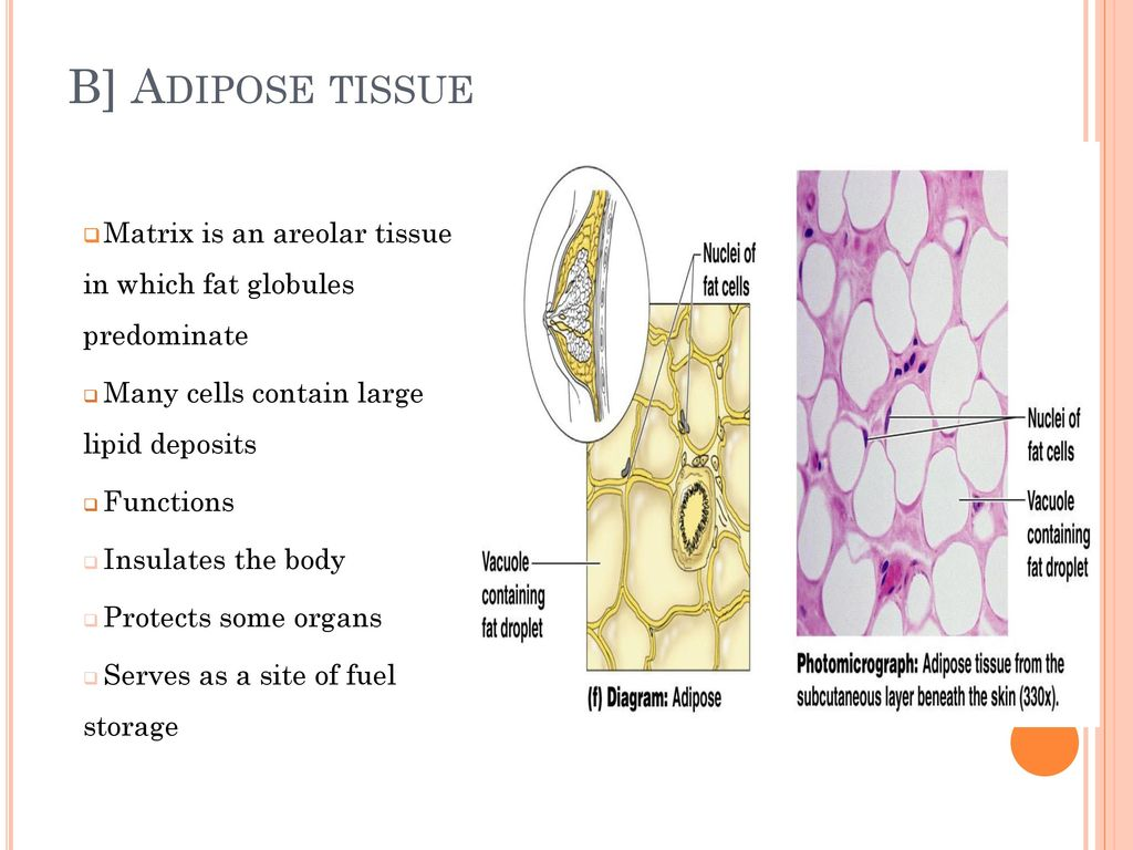 tissues part b. - ppt download