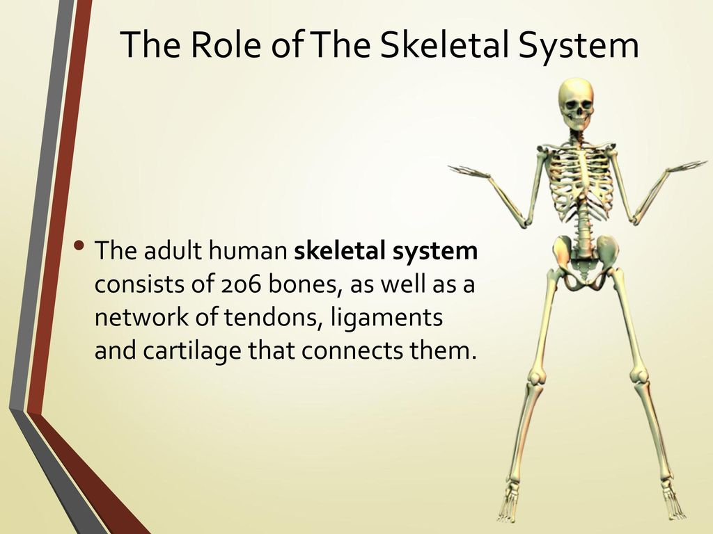 Senior Science Bionics Ppt Download The Human Body Bones Skeleton How They Work Diagrams Role Of Skeletal System