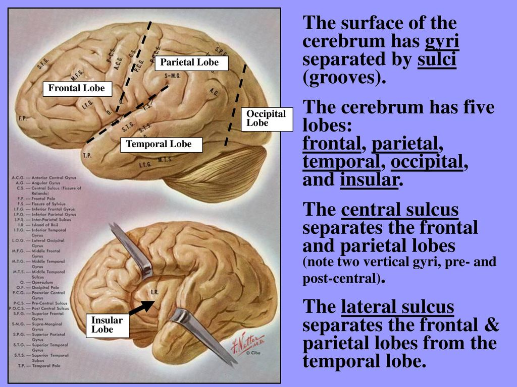 GROSS ANATOMY OF THE BRAIN - ppt download