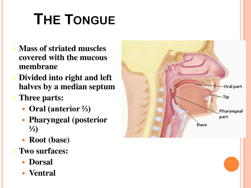 Dr. Nabil Khouri MD, PhD Oral Cavity II. - ppt download