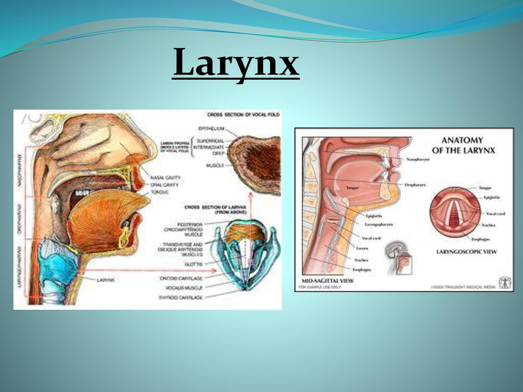 Larynx. - ppt download