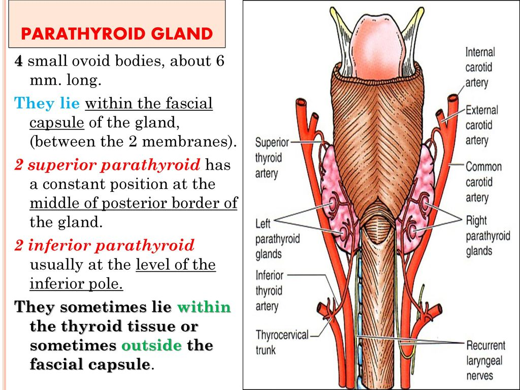 Dorable Thyroid And Parathyroid Glands Sketch - Human Anatomy Images ...