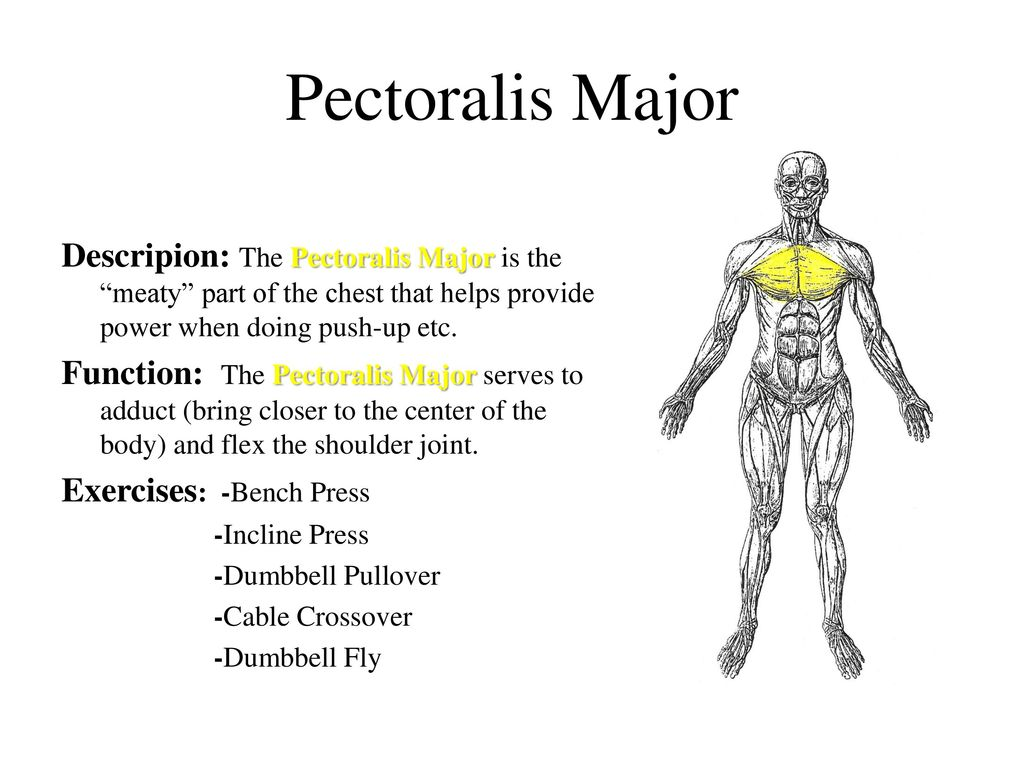 Muscles. Listed below are the muscles we will learn: - ppt download