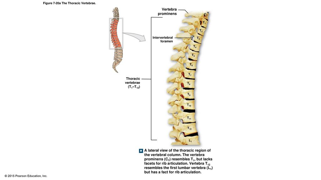 7 5 The Vertebral Column The Vertebral Column Spine Ppt Download