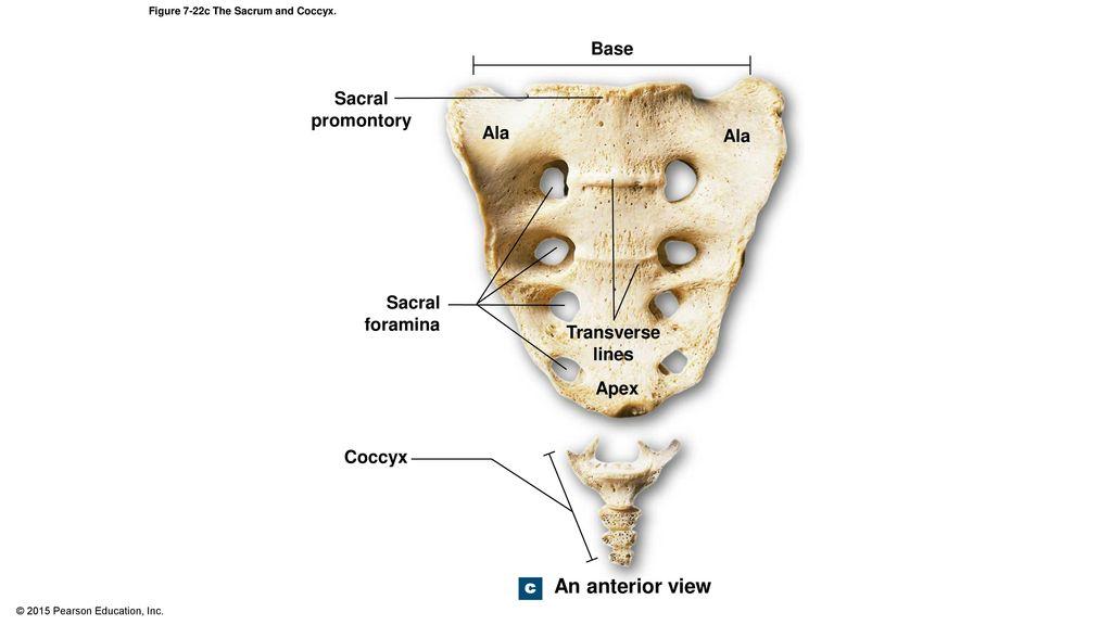 Tolle Sacrum Anatomy Pictures Galerie - Anatomie und Physiologie des ...
