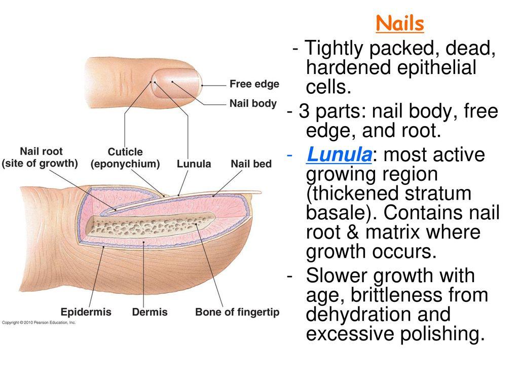 Unique Eponychium Illustration Anatomy And Physiology Tissue