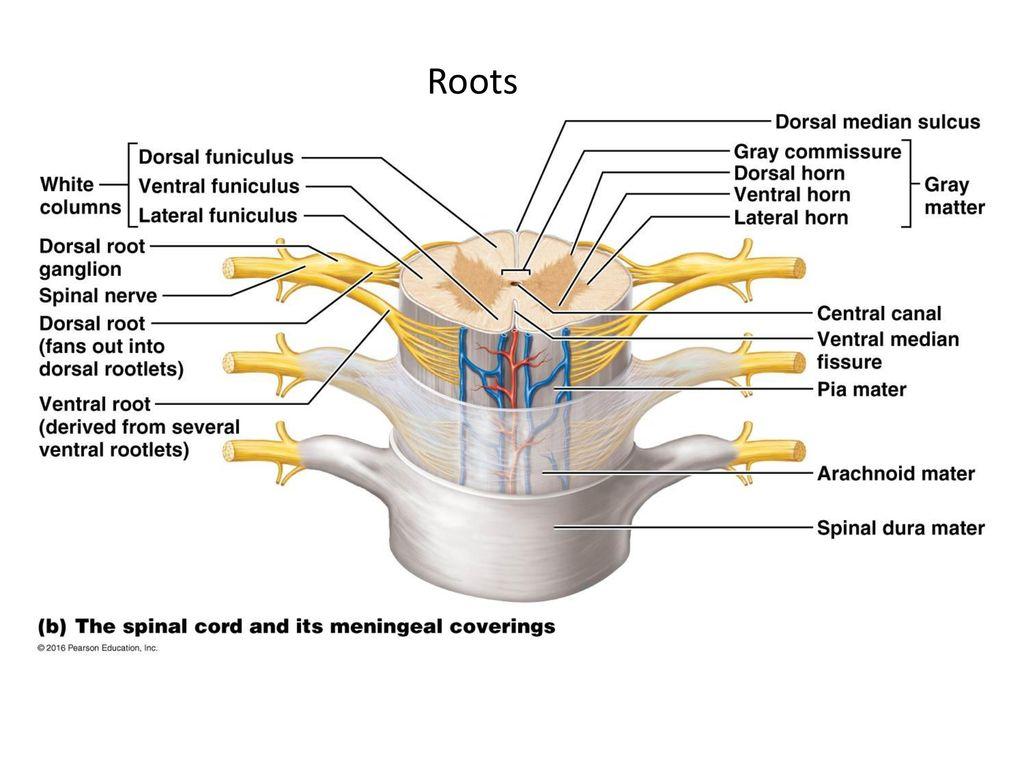 Großzügig Dorsal Root Zeitgenössisch - Anatomie Ideen - finotti.info