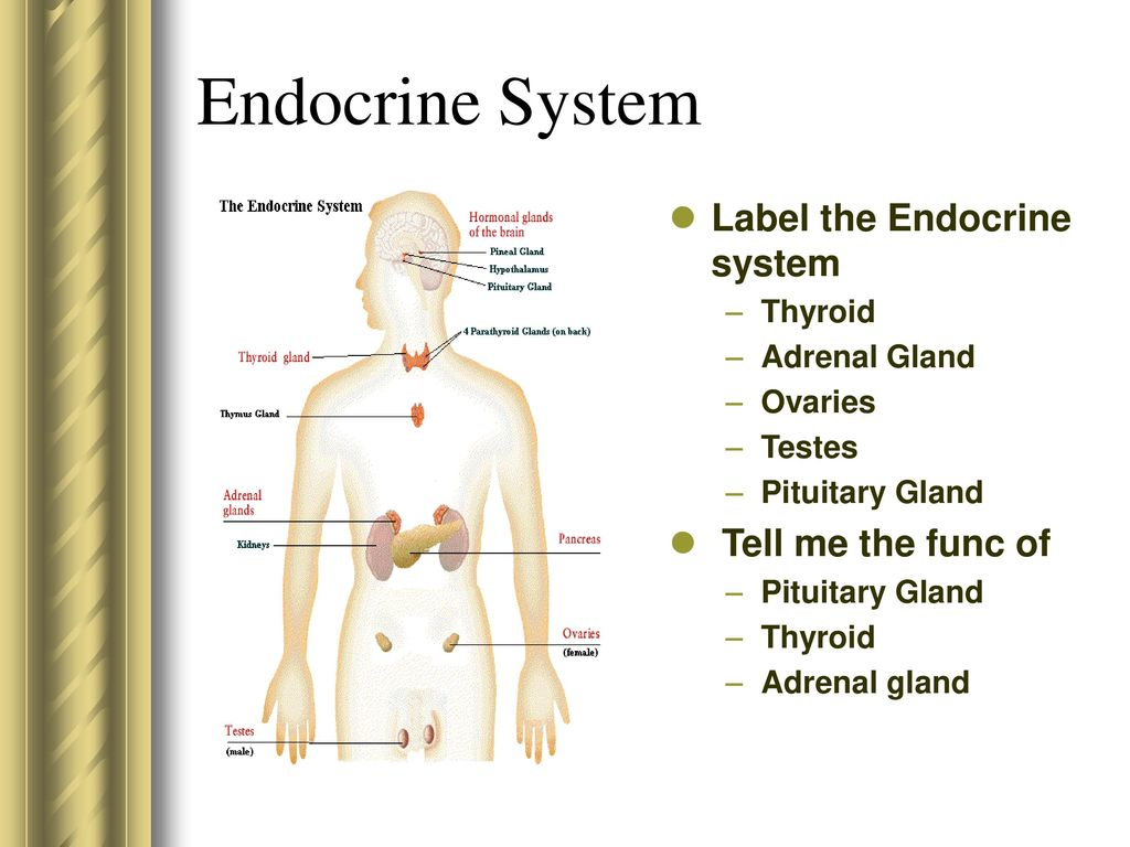 Fantastic Endocrine System Label Images - Anatomy and Physiology ...