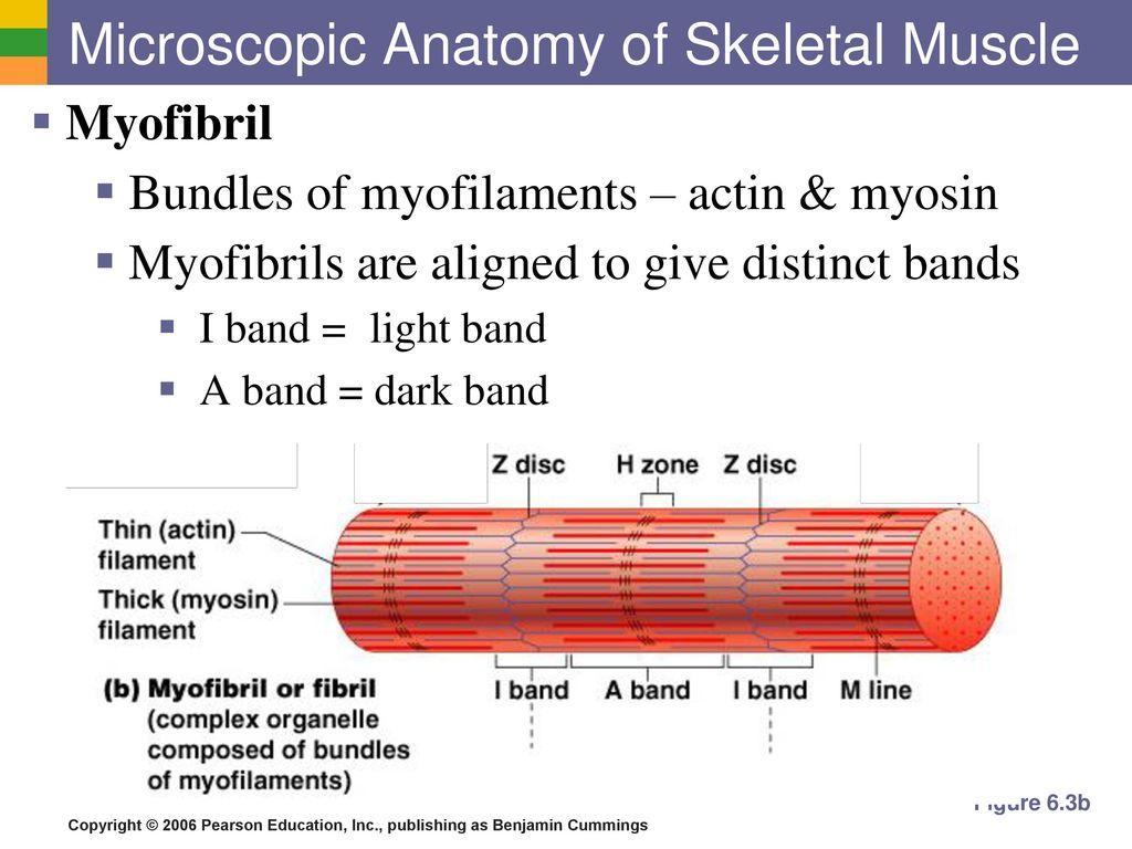 Microscopic Anatomy Of Skeletal Muscle Worksheet Answers Gallery ...