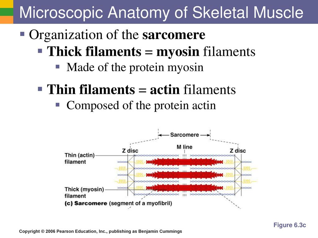 Unique Microscopic Anatomy Of Skeletal Muscle Answers Crest ...