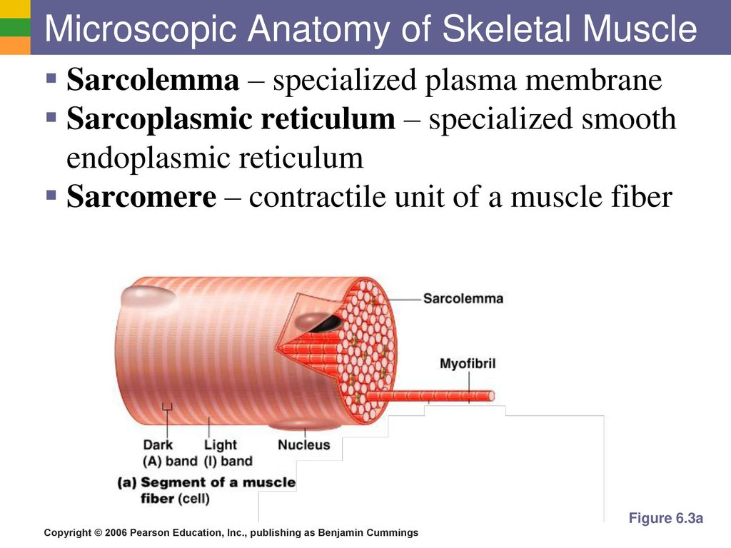 Beautiful Microscopic Anatomy And Organization Of Skeletal Muscle ...
