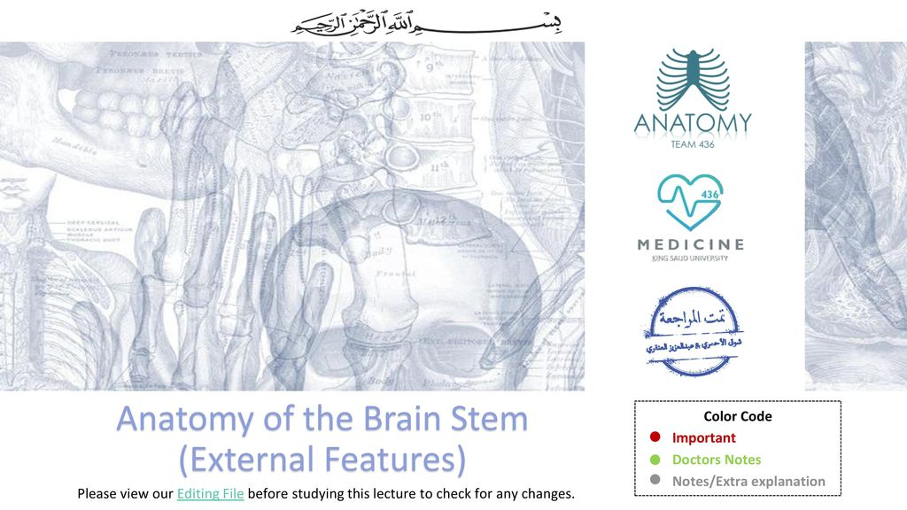 Anatomy Of The Brain Stem External Features Ppt Download