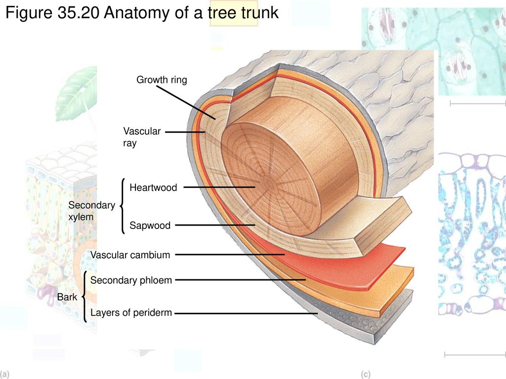 Tree Trunk Anatomy Gallery - human body anatomy
