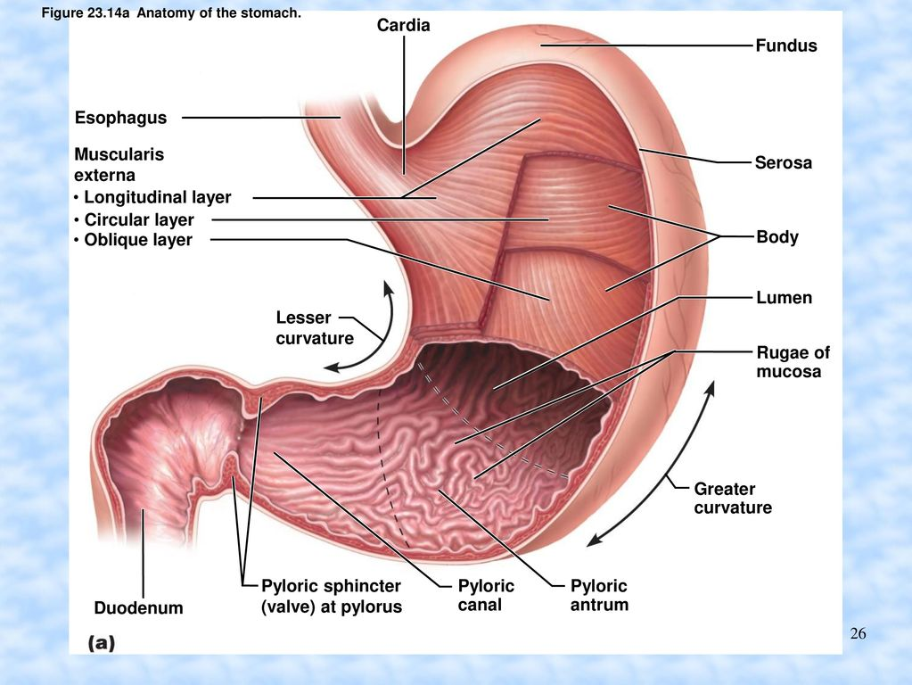 Pyloric Sphincter Valve Image Collections Human Anatomy Organs Diagram
