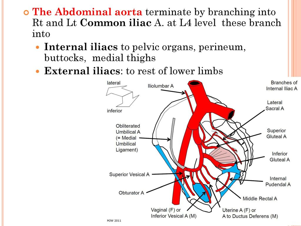 Famous Branches Of Abdominal Aorta Anatomy Collection - Anatomy and ...