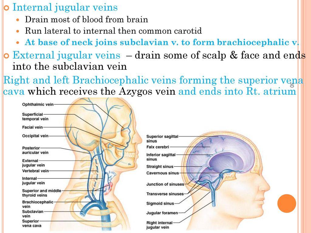 Attractive Left Brachiocephalic Vein Model - Anatomy Ideas - yunoki.info