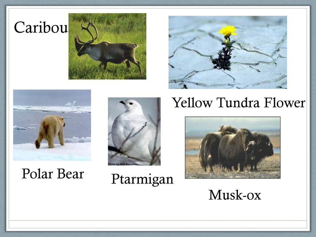 What makes a biome a biome why is a rainforest different from 5 caribou yellow tundra flower polar bear ptarmigan musk ox mightylinksfo