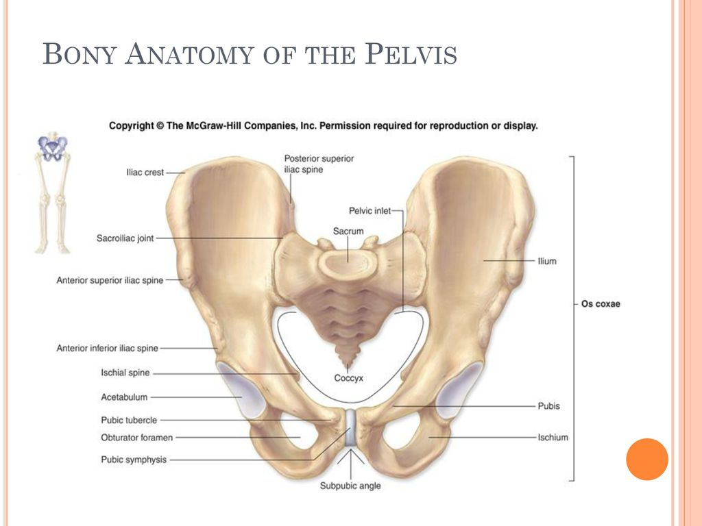 Anatomy of the Pelvis and Hip. - ppt download