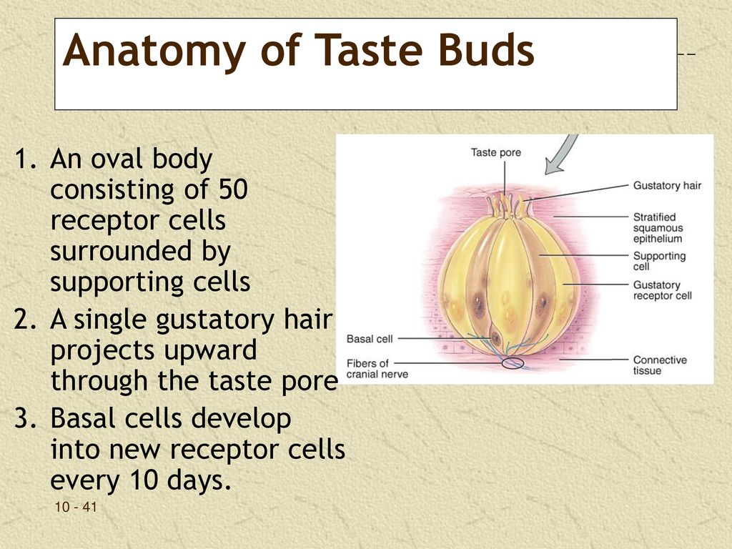 Enchanting Anatomy Of Taste Buds Pictures Anatomy And Physiology