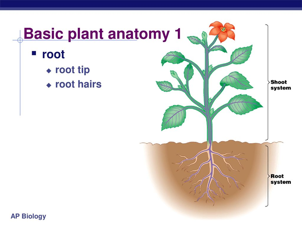 Famous Plant Anatomy Ppt Vignette Physiology Of Human Body Images