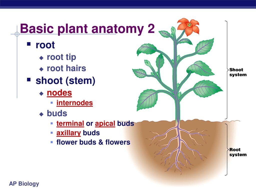 Plant Anatomy ppt download