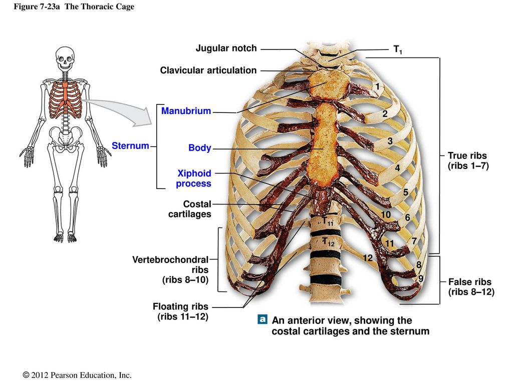 7 The Axial Skeleton. - ppt download