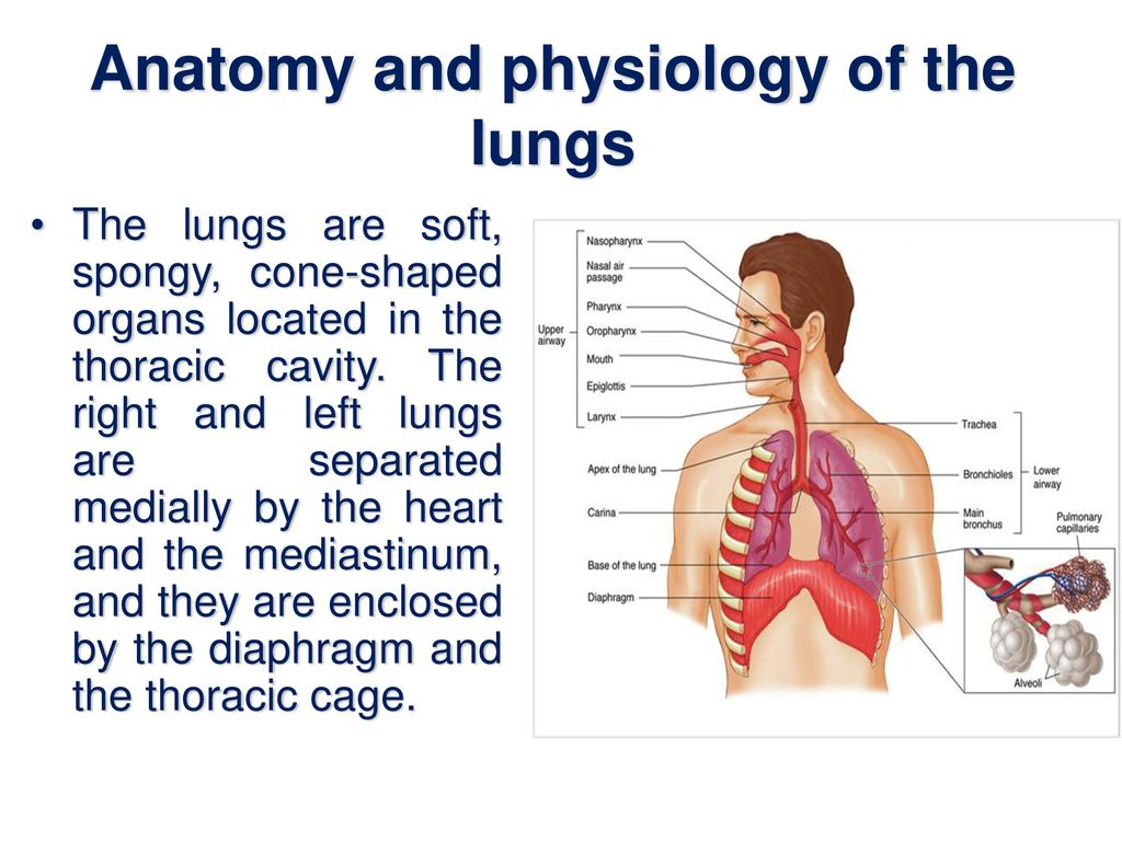 the lungs essay Each lung is divided into lobesthe right lung has three, but the left lung has only two, thus allowing room to accommodate the heart together, the lungs' tissue surface is almost 40 times.