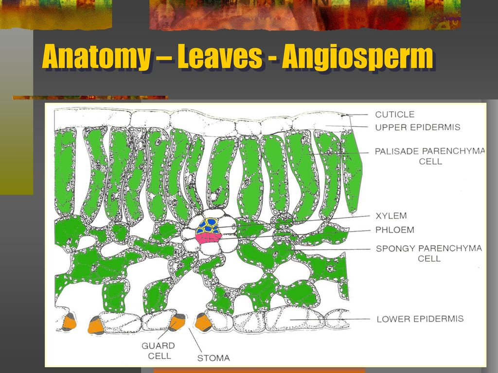 Unique Anatomy Of Angiosperm Inspiration - Anatomy and Physiology ...