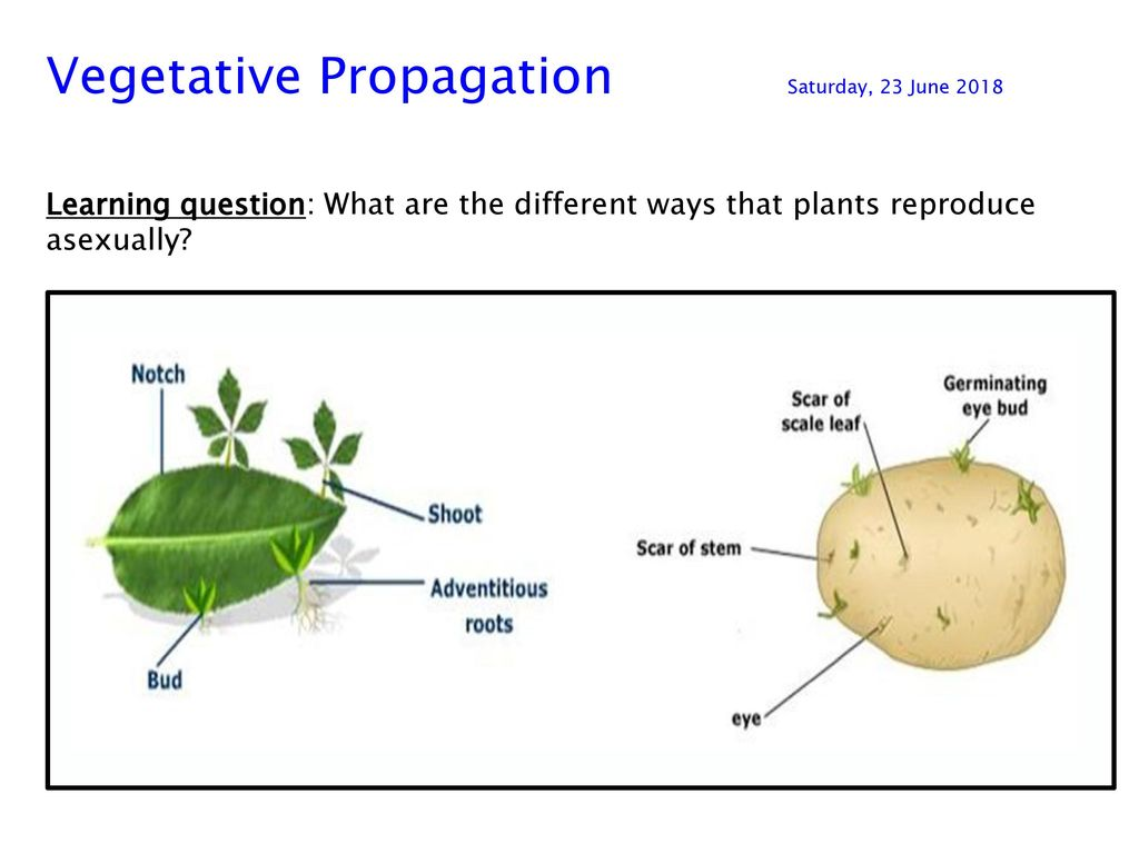 Vegetative Propagation Saturday 23 June Ppt Download