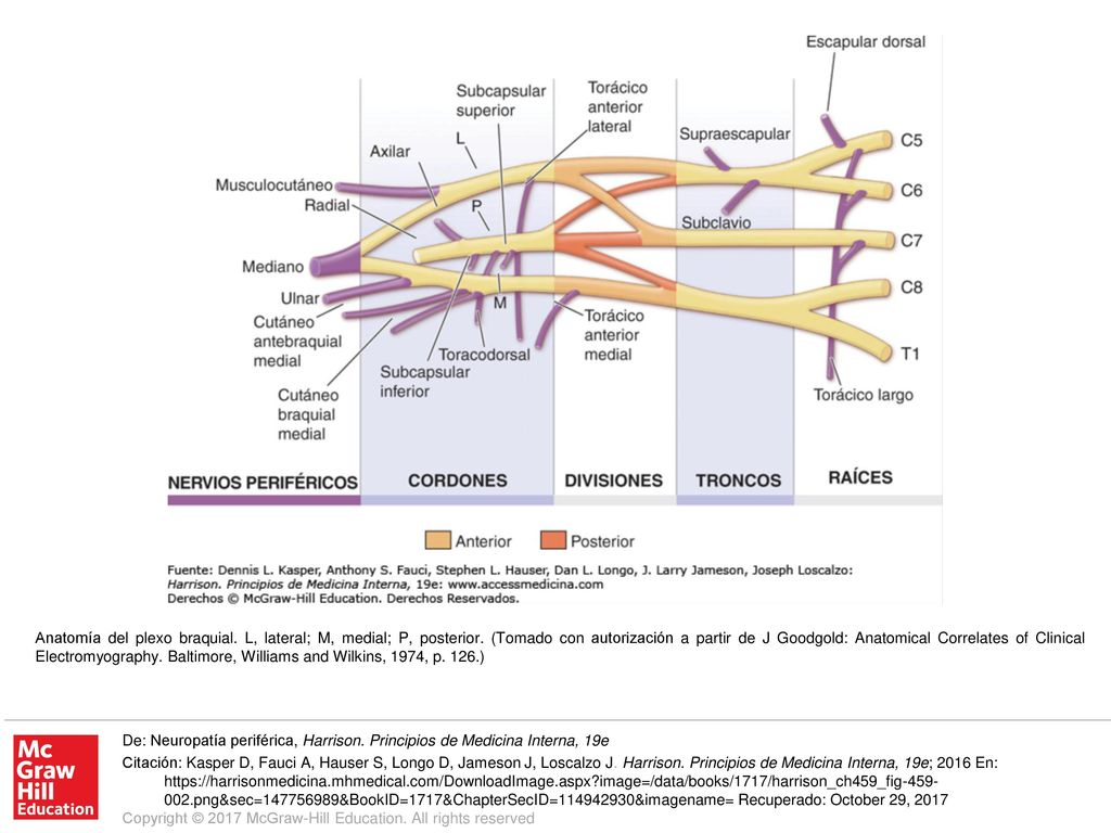 Anatomía del plexo braquial. L, lateral; M, medial; P, posterior ...