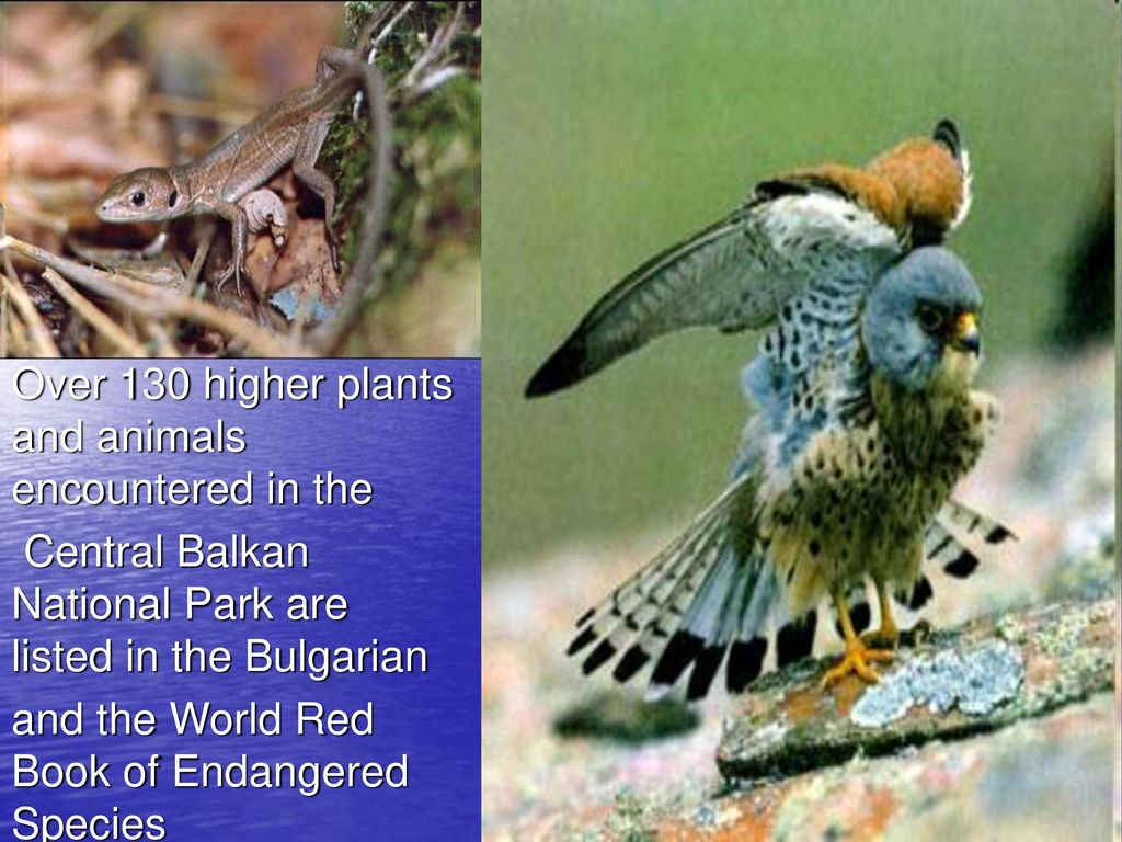Plants and animals of the Red Book of the Bryansk region: a list and interesting facts 60