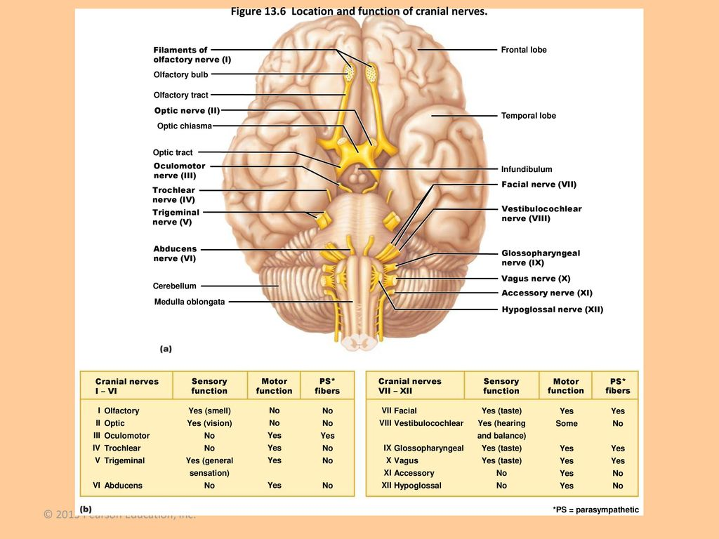 Cranial Nerves Anatomy And Function Ppt Download