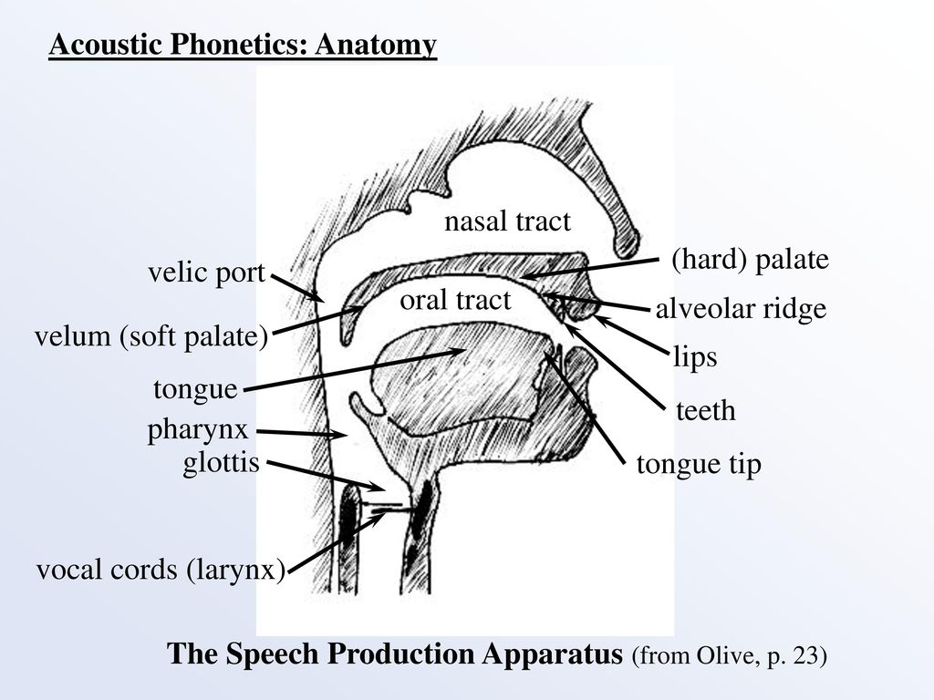 Fancy Anatomy Of Palate Gift - Anatomy and Physiology Tissue ...