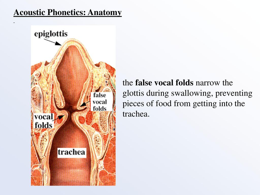 Vocal Folds Anatomy Choice Image - human anatomy diagram organs