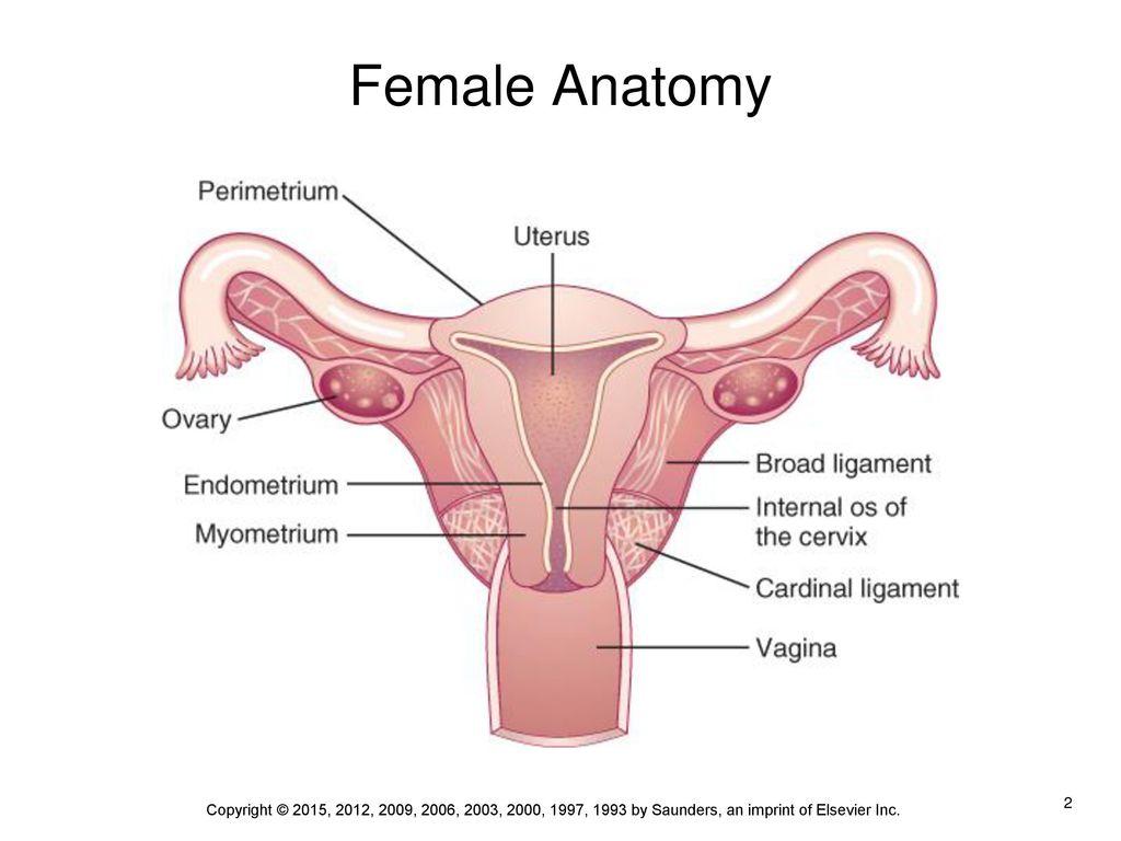 Nice Os Female Anatomy Gift - Human Anatomy Images - fullthreadahead.com