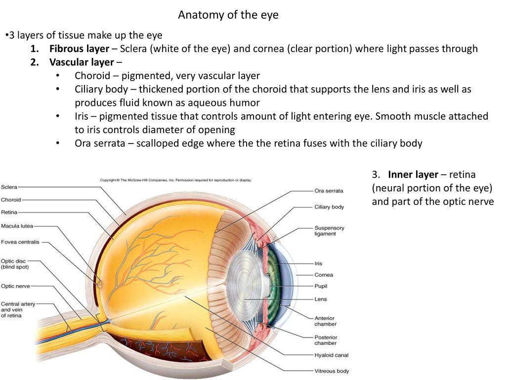 Bio 322-Human Anatomy Today\'s topics Sense organs. - ppt download