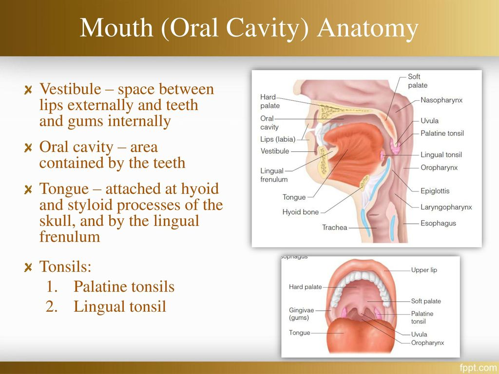Hard Palate Anatomy Choice Image - human anatomy diagram organs