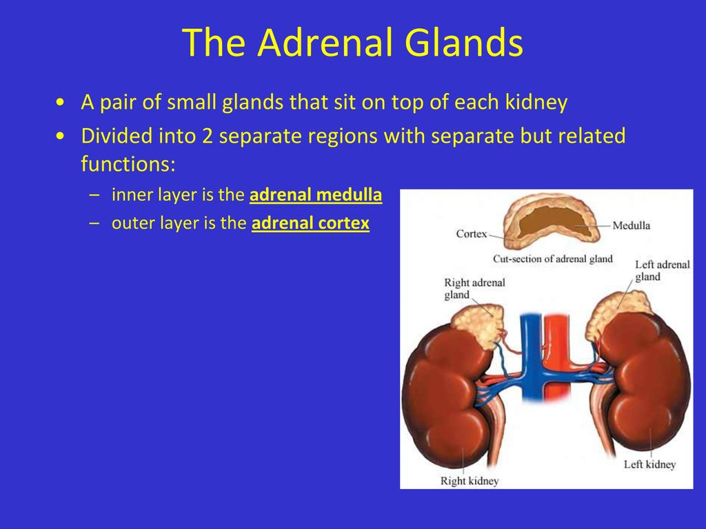 Modern Anatomy Of Adrenal Glands Component Anatomy And Physiology