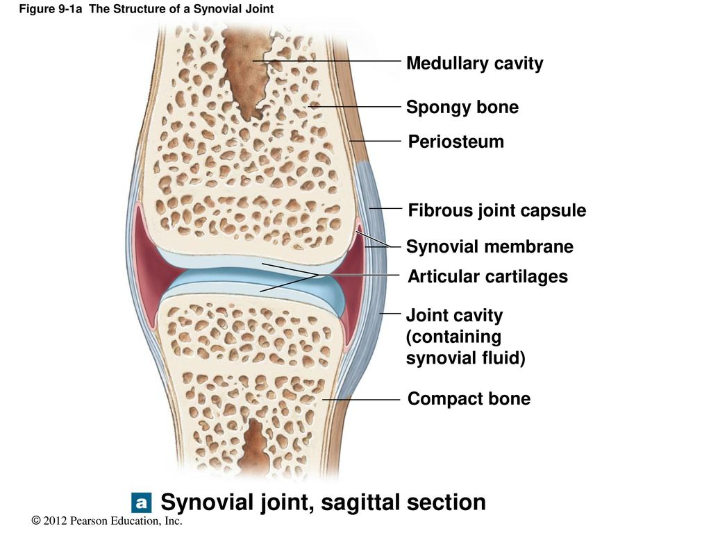 Amazing Anatomy Of A Synovial Joint Image - Internal organs diagram ...