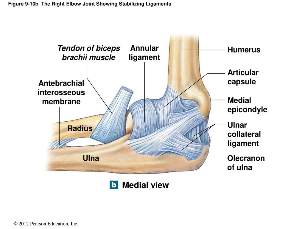 Exelent Elbow Joint Anatomy Ppt Motif - Anatomy and Physiology ...