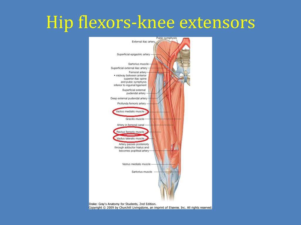 Pelvic cavity. Gross anatomy of the lower limb. Walking. - ppt download