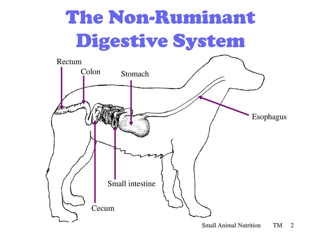 Non Ruminant Digestive System Diagram - Trusted Wiring Diagram •