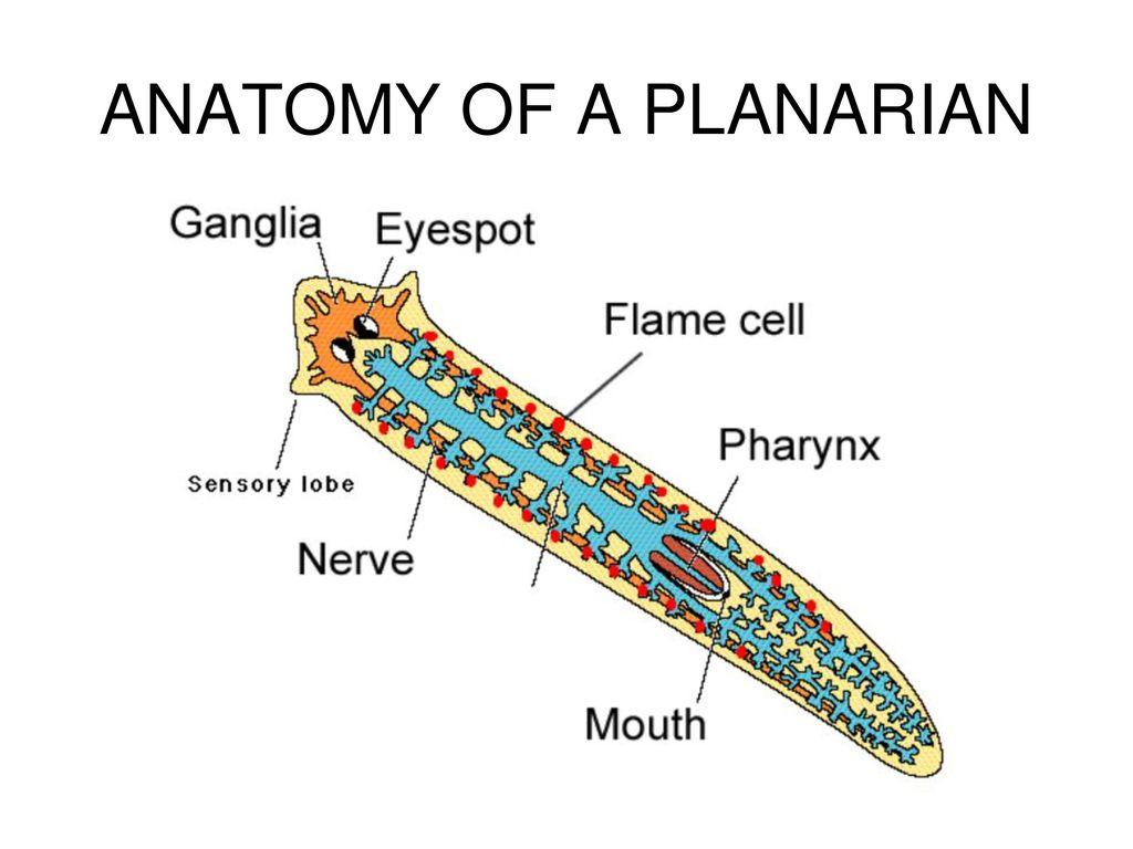 Tolle Anatomie Planaria Ideen - Anatomie Von Menschlichen ...