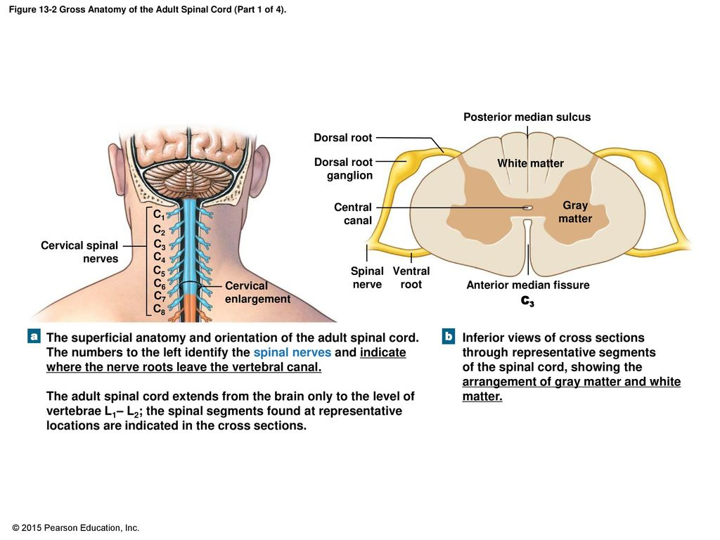 An Introduction to the Spinal Cord, Spinal Nerves, and Spinal ...