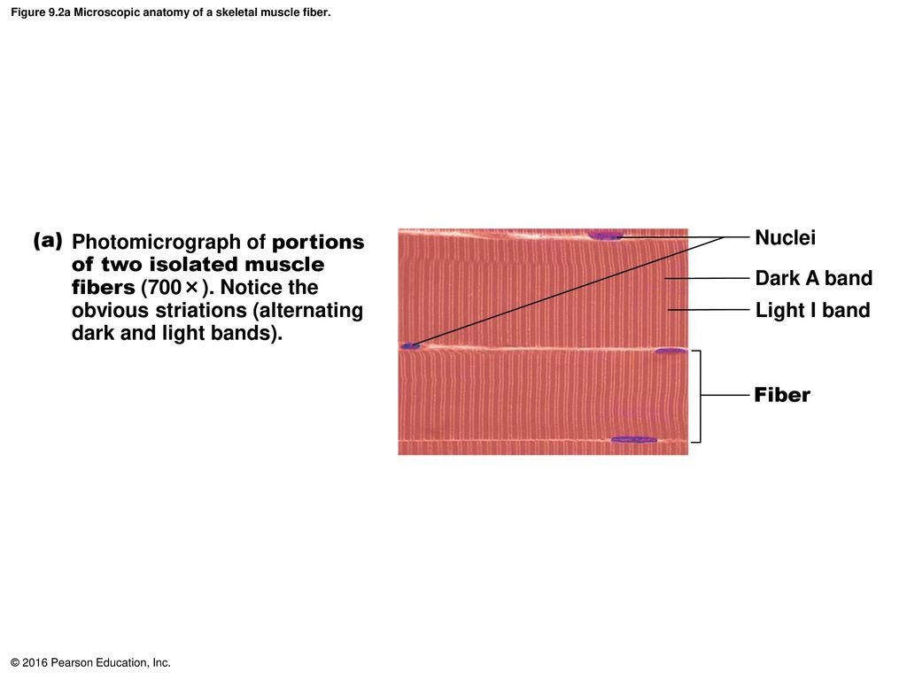 Nice Anatomy Of Skeletal Muscle Fiber Image Anatomy And Physiology