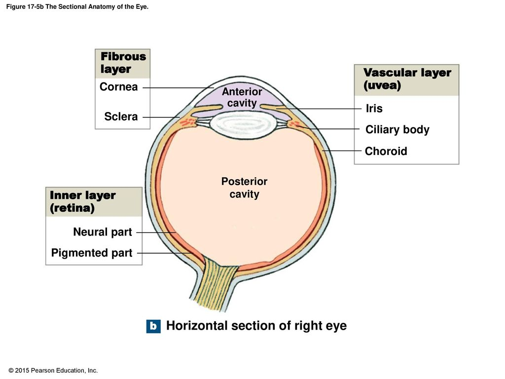 Figure 17-5b The Sectional Anatomy of the Eye. - ppt download